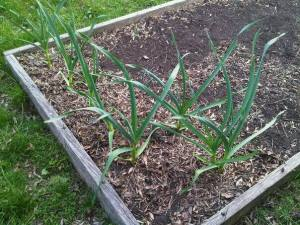 Garlic in May!