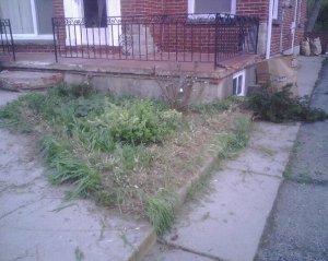 Boxwood & yew destruction