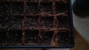 Beet Sprouts Day 2 - Aug 6 2013