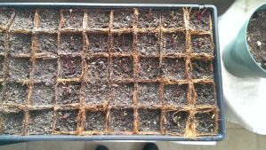 Beet Sprouts - Day 3 - Aug 7 2013